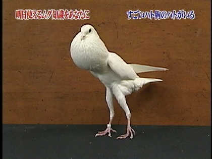 鳩胸がすごい鳩(前田 信太郎)